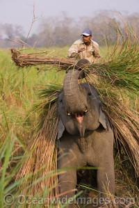 Farmer with working elephant. India